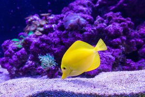 A yellow fish with purple background