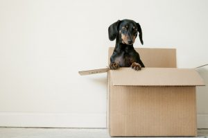 A dog inside a moving box