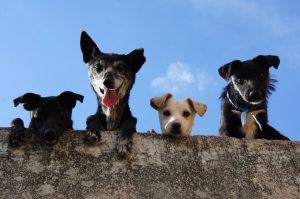 three black and one white puppy looking at the camera from above