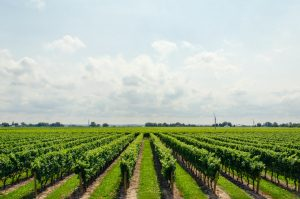 a panoramic view of a wineyard stretching to the horizon